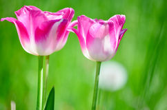Tulipes roses dans un domaine de tulipe Images libres de droits
