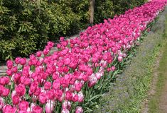 Tulipes roses dans un jardin de bord image libre de droits