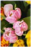 Tulipes roses de fleurs en gros plan Vue supérieure, centre sélectif Cocept de jour du ` s de femmes, jour du ` s de mère, jour d Photographie stock