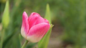 Tulipes roses de floraison avec des milieux de tache floue Photos libres de droits