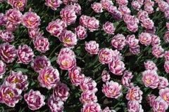 Tulipes roses de fond Photo libre de droits