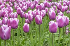 Tulipes roses de fond dans le printemps Photographie stock