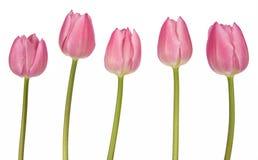 tulipes roses de groupe Image libre de droits