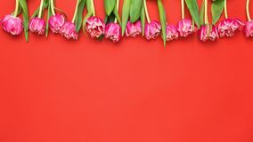 Tulipes roses de pivoine sur Coral Red Background image stock