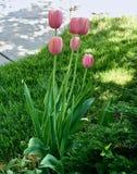 Tulipes roses de printemps Photo libre de droits