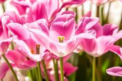 Tulipes roses de ressort plus étroites image stock