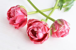 Tulipes roses de Terry Photo libre de droits