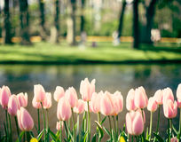 Tulipes roses de vintage dans un jardin photo stock
