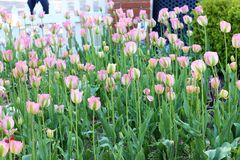 Tulipes roses doucement sensibles balançant doucement dans la brise en Hollande, Michigan photographie stock