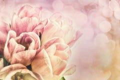 Tulipes roses et blanches Photographie stock libre de droits