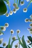 Tulipes roses et blanches contre un ciel bleu Photographie stock libre de droits