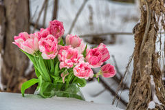 Tulipes roses et blanches fraîches à côté des usines sèches Image libre de droits