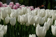 Tulipes roses et blanches - VDNH - Moscou, Russie Image libre de droits