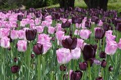 Tulipes roses et pourprées Images stock