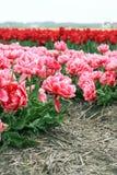 Tulipes roses et rouges Photo stock