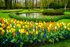 Tulipes roses et rouges image libre de droits