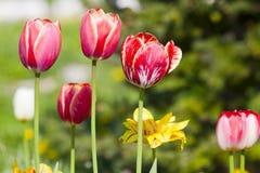 Tulipes roses et rouges jaunes blanches avec les fleurs blanches et jaunes Images stock