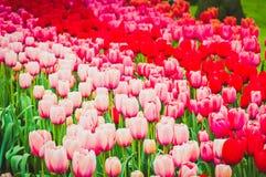 Tulipes roses et rouges sur le parterre photos stock