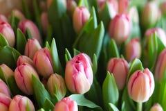 Tulipes roses fraîches Photographie stock libre de droits