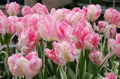 Tulipes roses merveilleuses photographie stock
