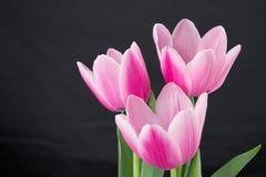 Tulipes roses sur le fond foncé Photos stock