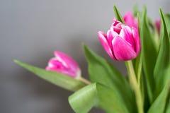 Tulipes roses sur le fond gris Images libres de droits