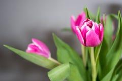 Tulipes roses sur le fond gris Photo libre de droits