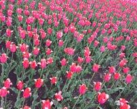 Tulipes roses sur le parterre Jour de source Photos stock