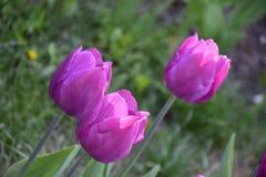 Tulipes roses sur un fond vert Image libre de droits