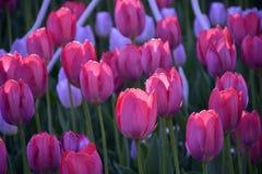 Tulipes roses sur un fond vert Macro Image stock