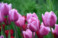 Tulipes roses sur un fond vert Macro Photos libres de droits
