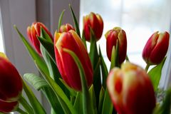 Tulipes rouge-jaunes de ressort photo libre de droits