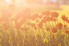 Tulipes rouges éclairées à contre-jour Photographie stock