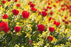 Tulipes rouges Photo libre de droits