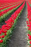Tulipes rouges image stock