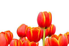 Tulipes rouges Image stock