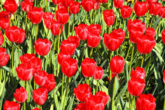 Tulipes rouges Photographie stock libre de droits