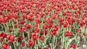 Tulipes rouges banque de vidéos
