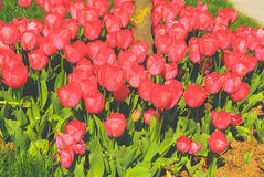 Tulipes rouges Image libre de droits