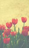 Tulipes rouges Images libres de droits