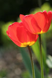 Tulipes rouges photos stock