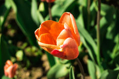 Tulipes rouges Photos libres de droits