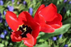 Tulipes rouges Photographie stock
