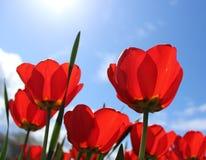 Tulipes rouges admirablement de floraison avec le ciel bleu de ressort Photos libres de droits