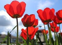 Tulipes rouges admirablement de floraison avec le ciel bleu de ressort Images stock