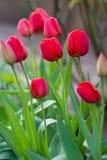 Tulipes rouges au printemps Photographie stock libre de droits