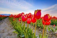 Tulipes rouges avec le beau fond de bouquet Images libres de droits