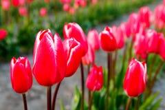 Tulipes rouges avec le beau fond de bouquet Image libre de droits