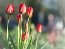 Tulipes rouges avec le fond brouillé Photographie stock libre de droits