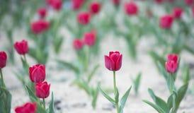 Tulipes rouges avec les feuilles vertes Photo libre de droits